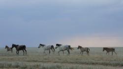 Wilde Pferde direkt neben der Piste durch die kasachische Hungersteppe