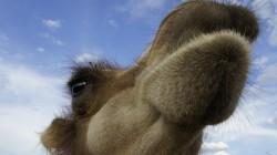 Zahmes Kamel in Kasachstan