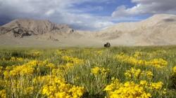 Einsames Yak in Tibet auf etwa 4500 Metern Höhe