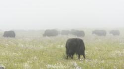 Yak-Herde im Monsun-Nebel